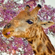Flower-Eating Giraffe – Floranext Flower Photo of the Week