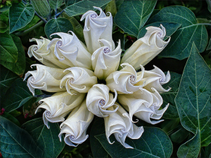Serbian Moonflower