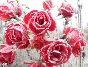 Florist Valentine's Roses in Snow