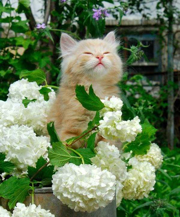 Cat-Hydrangeas