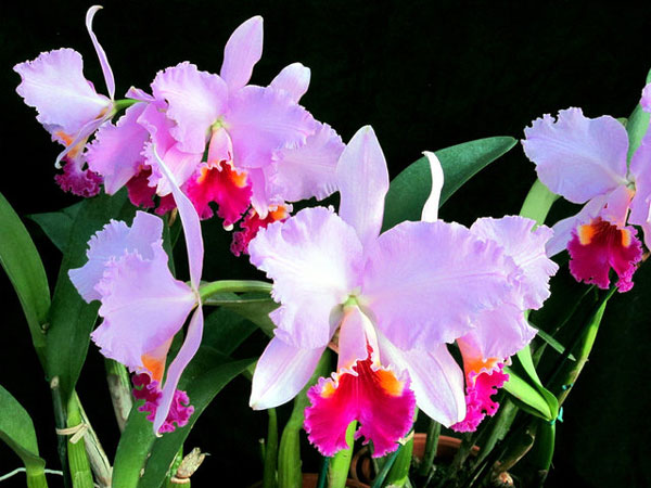 Obama-Orchid