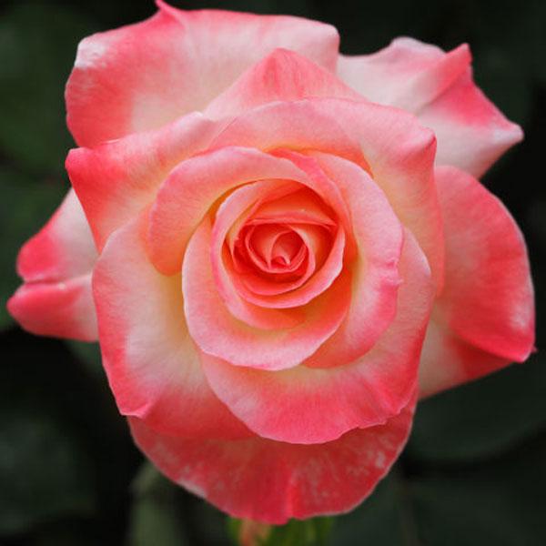 Diana-Rose
