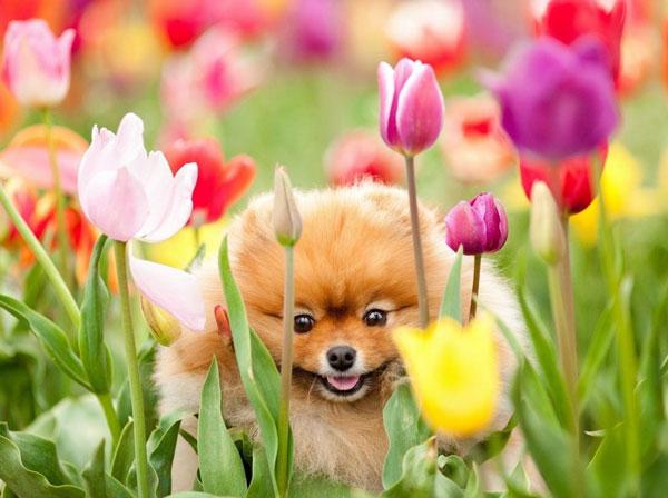Dog-Tulips