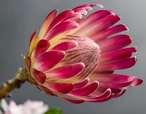 protea-bloom-flower-color