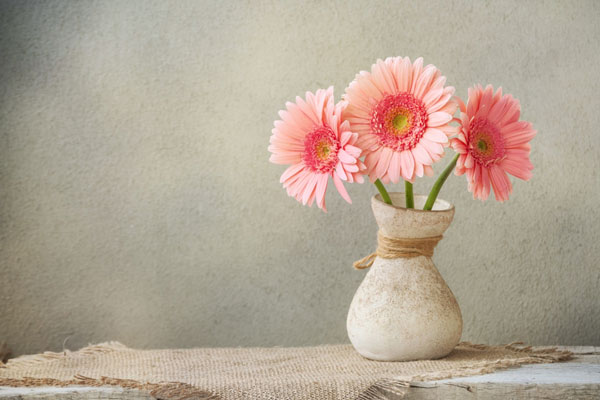 gerbera flower fact