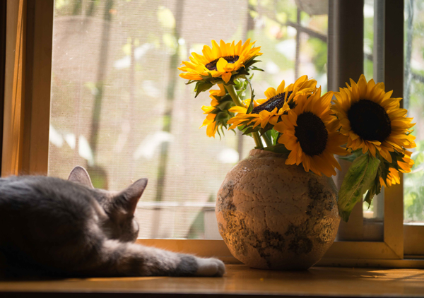 cat-sunflowers-laying