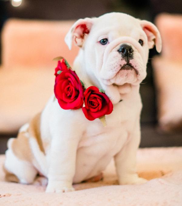dog-roses-safe